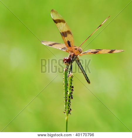 Dragonfly resting between courses