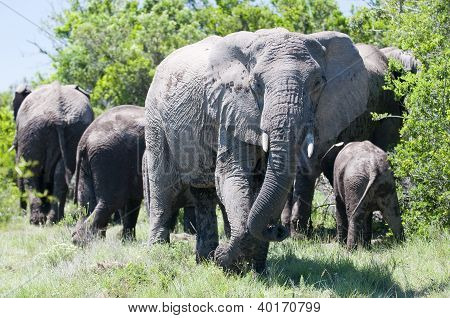Elephant guarding over family