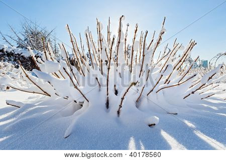 Snow covered bush in front of blue sky, wide angle view