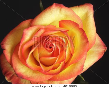 Close Up Of Yellow Pink Rose