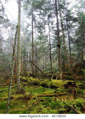 Primaeval Forest