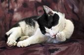 Domestic cat cleaning its paws in a confortable armchair poster