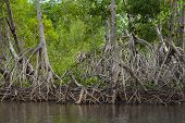 pic of twisty  - A mangrove forest and its distinctive root system - JPG