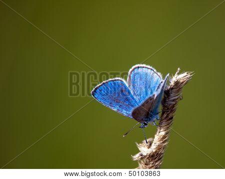 Green-underside Blue (glaucopsyche Alexis), Sweden
