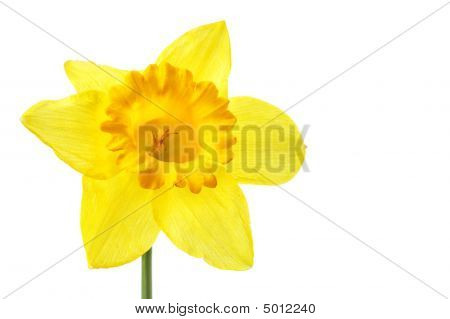 Single Yellow Daffodil