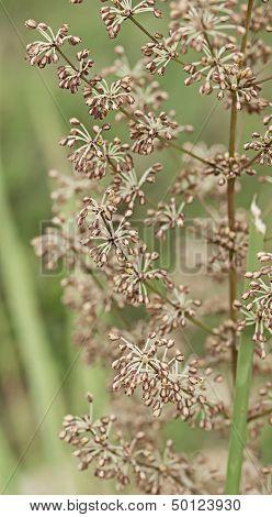 Australian Wildflower Flora Of Lomandra Multiflora Matrush