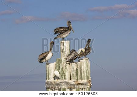 Brown pelicans and egret.