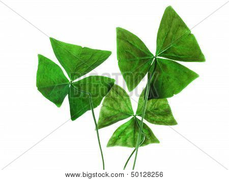 Original Sharp Decorative Oxalis Leaves Isolated On White