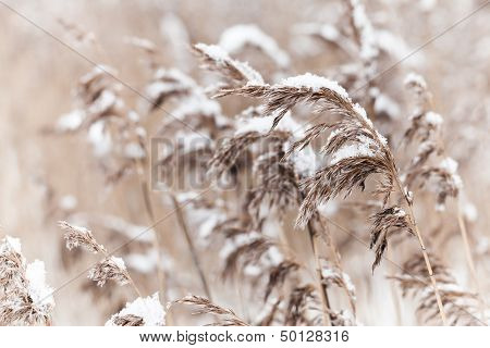 Dry Coastal Reed Cowered With Snow, Nature Background