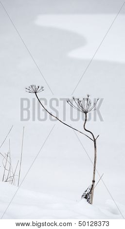 Abstract Winter Background With Dry Curved Frozen Plant And Snowdrift