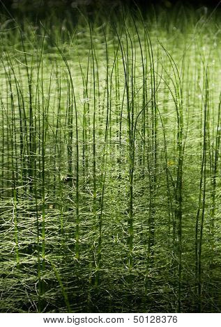 Abstract green forest nature horsetail background