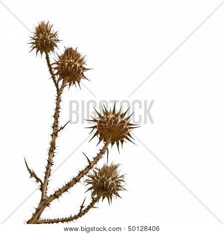 Dry Bur Flower