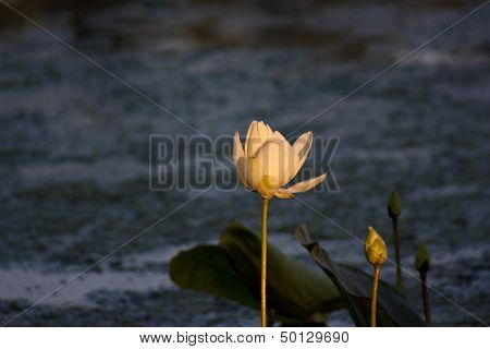 White Lotus Bud At Dawn Against Watery Background
