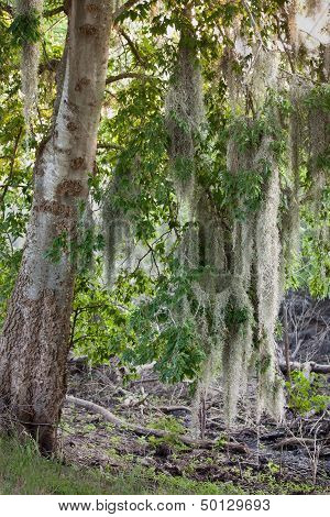 Spanish Moss Drooping From A Hackberry Tree