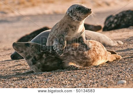 Harbor Seals In Game