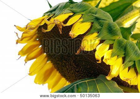 Close - up of sun flower against a white background
