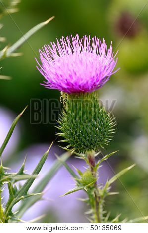 Close up, Milk thistle in all its glory .