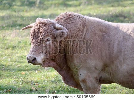 Charolais bull in Allier, France