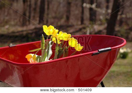 Tulips In Wheel Barrow