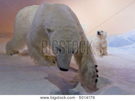 Polar Bears Hunting