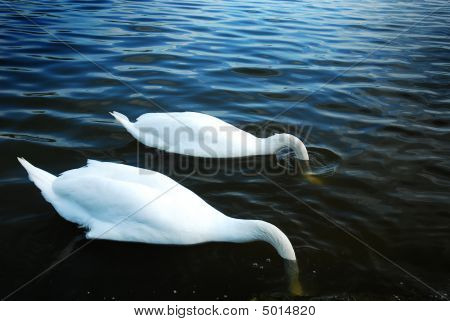 Two Swans Fishing With Their Heads In The Water