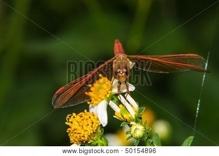 Dragonfly On A Flower Lily