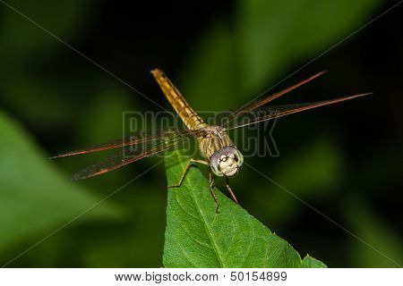 Dragonfly On Green Leaf