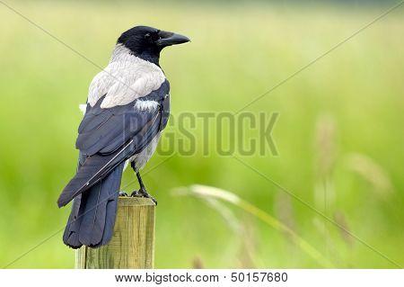 Grey Crow (Corvus Cornix)