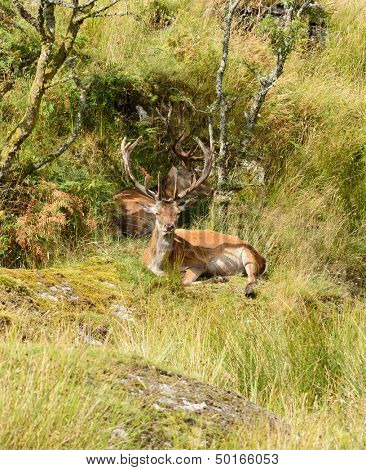 Majestic European Red deer - stag (Cervus Elaphus) in native environment