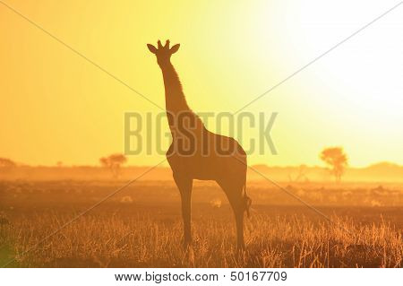 Giraffe and Sunset Background - Wildlife in the wild and free - Africa