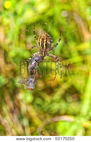 Wasp spider - food intake