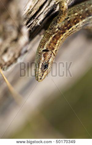 Lizard - Zootoca-vivipara - macro
