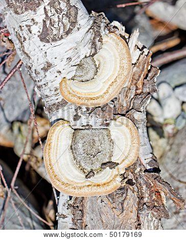 Polypore Mushrooms On Tree