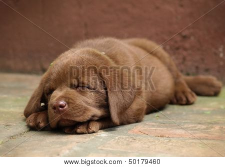 Sleeping chocolate lab puppy