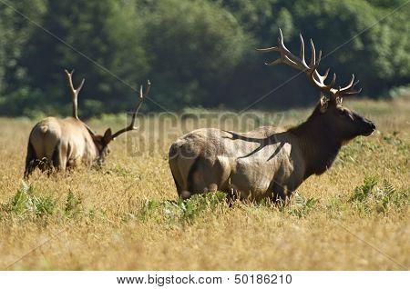 Two Elks