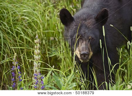 Canadian Black Bear