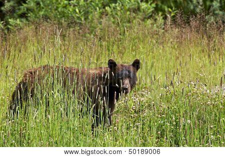 Black Bear In Summer