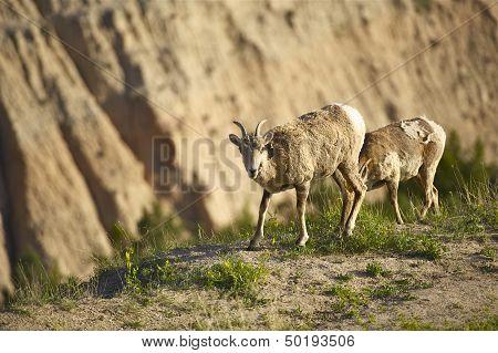 Badlands Sheep