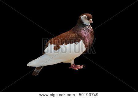 close up off  rare species pigeon