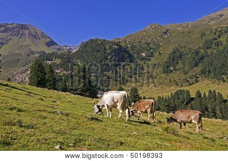 Cows On Pasture In Alps