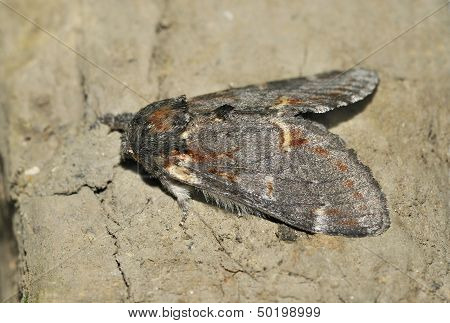 Iron Prominent Moth