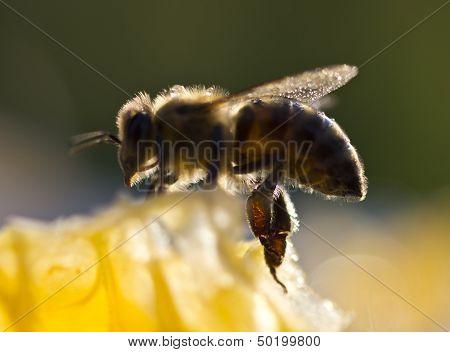 Bees Preen