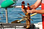 stock photo of lobster boat  - Fisherman showing off the catch of the day - JPG