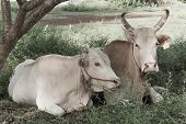 picture of charolais  - Two cows lied on a green field - JPG