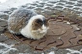 image of sewage  - Homeless cat warms up on a sewage hatch - JPG