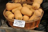 stock photo of butternut  - Fresh picked Butternut squashes in a bucket - JPG