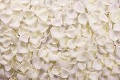 picture of plant species  - White Rose Petals Background - JPG