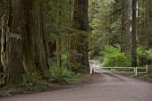 picture of redwood forest  - Redwood Road - JPG