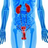 stock photo of testicle  - Male genitals and Kidneys anatomy in x - JPG