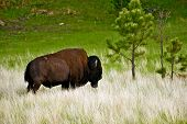 stock photo of prairie  - American Bison on Prairie  - JPG